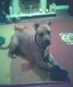 Staffordshire Bull Terrier, 17 months, red